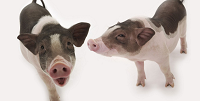 Protecting pigs from PRRS during reproduction