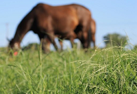 Grazing horses on better pastures