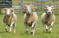 Sheep gene insights could help farmers breed healthier animals