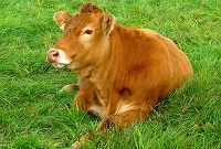 Cutting cattle carbon Bad breath and flatulence