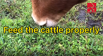 Feed the cattle properly