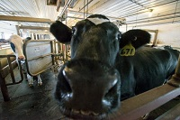 Lactation, weather found to predict milk quality in dairy cows
