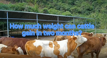 How much weight can cattle gain in two months