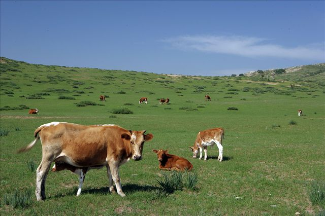 Livestock disease risk tied to herd management style