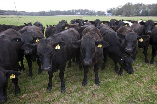 Scientists work to develop heat-resistant 'cow of the future'