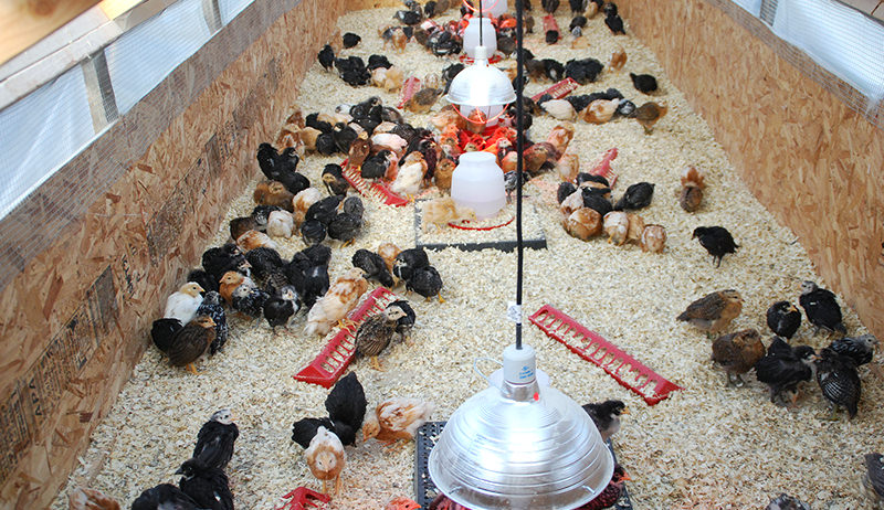 BROODER CHALLENGES AND MORTALITY