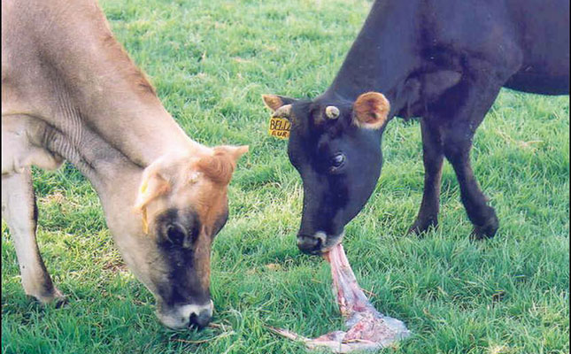 Brucellosis in cattle