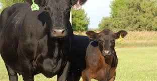 [Copy] CATTLE FEEDING PROCESS FROM CALF TO MATURITY.