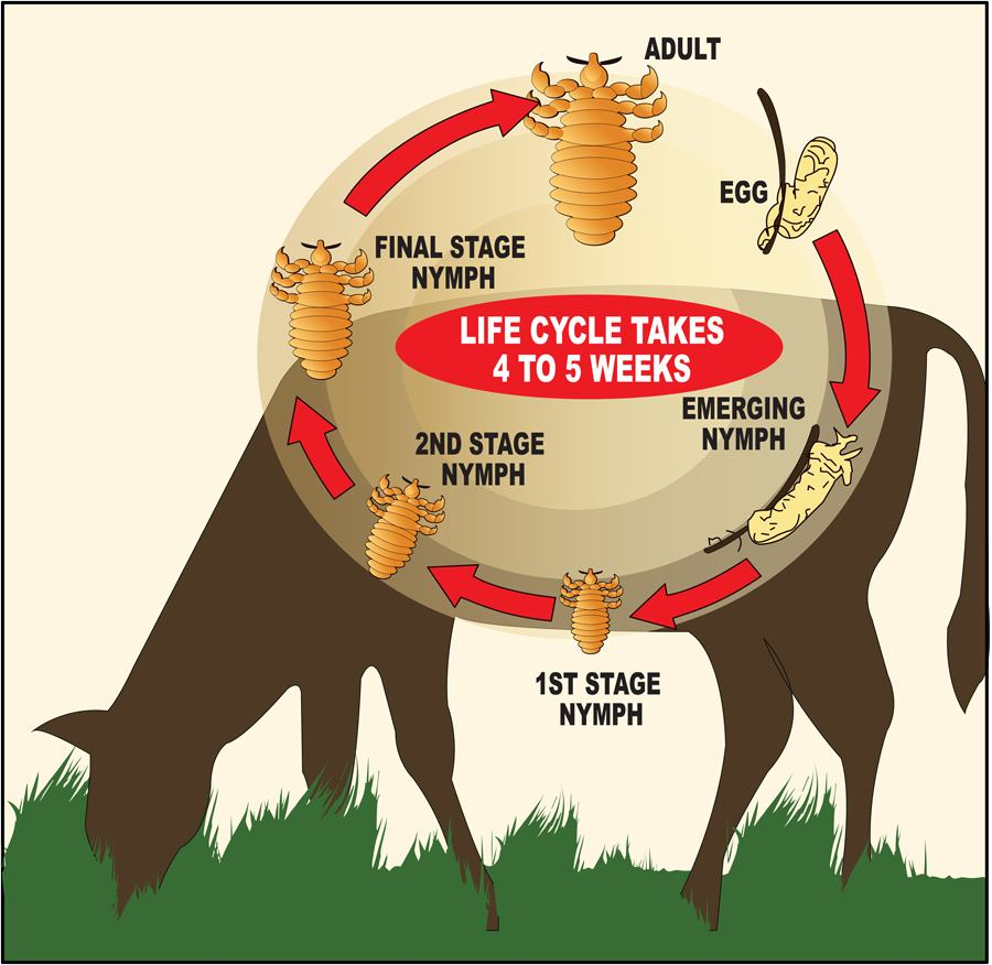 Cattle Lice Control
