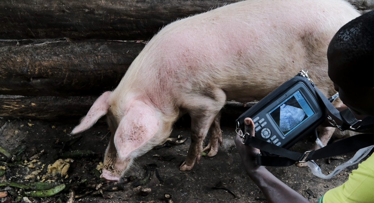 Climate induced heat stress in pigs will require joint action to protect and sustain the pig industry in Uganda for years to come