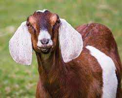 Common Causes Of  Miscarriage In Goats
