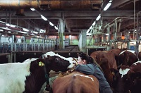 Cows in glass tanks help to reduce methane emissions