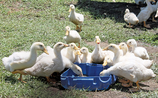Free-range duck farming in KZN Why less is more