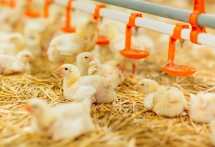 Global poultry market to grow at 3.8% CAGR in 2021