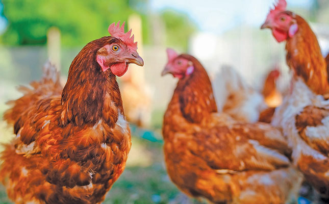 Reduce heat stress in poultry with vitamin C supplementation