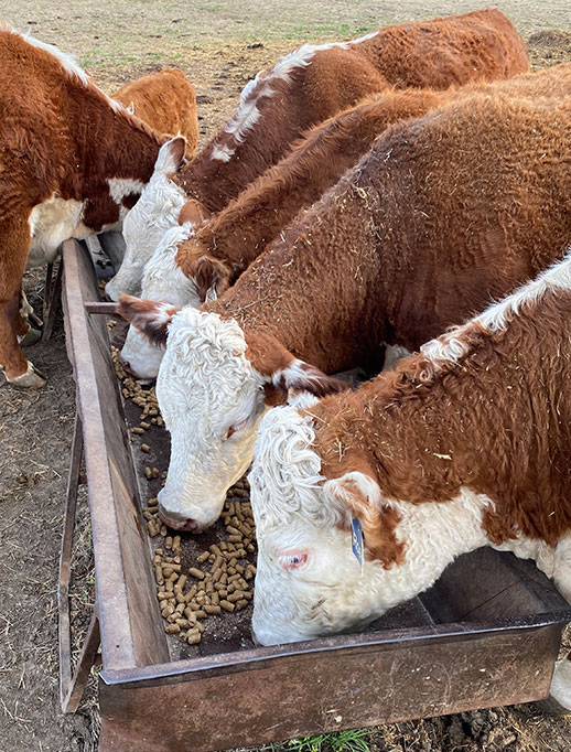 Spring grazing management for beef cattle