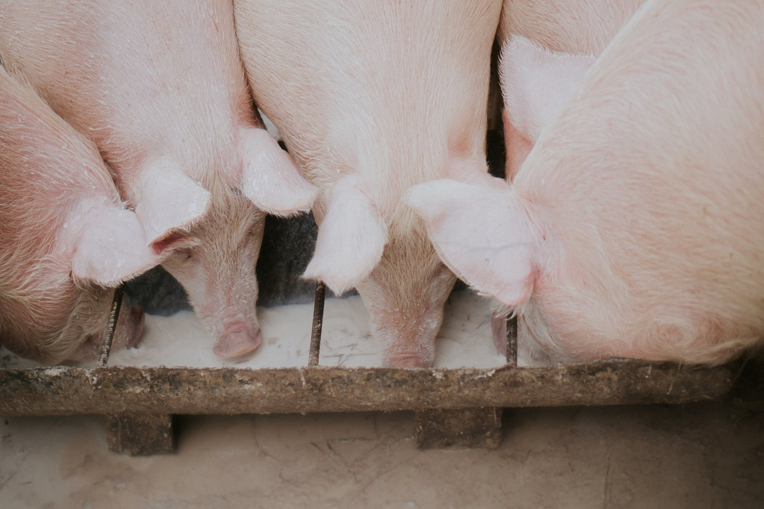Studies focus on SARS-CoV-2 transmission in domestic cats, pigs