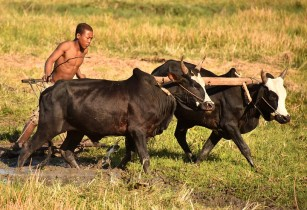 Study reveals valuable disease-fighting qualities in African indigenous cattle