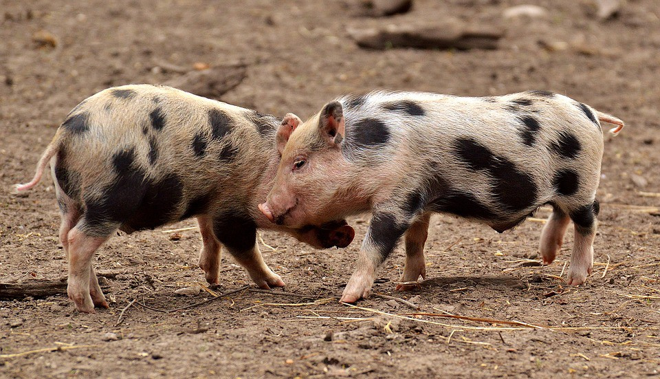 Swine coronavirus replicates in human cells