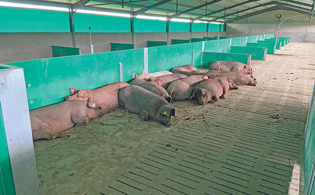 Technology and animal welfare improve piggery profits