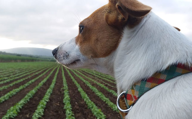 Why every farmer needs a dog