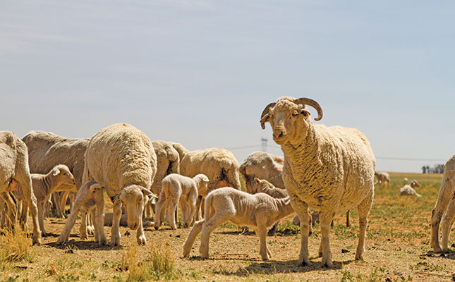 Wool and maize perfect partners on marginal lands